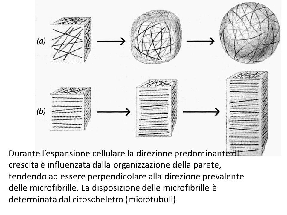 Durante l'espansione cellulare la direzione predominante di crescita è influenzata dalla organizzazione della parete, tendendo ad essere perpendicolar