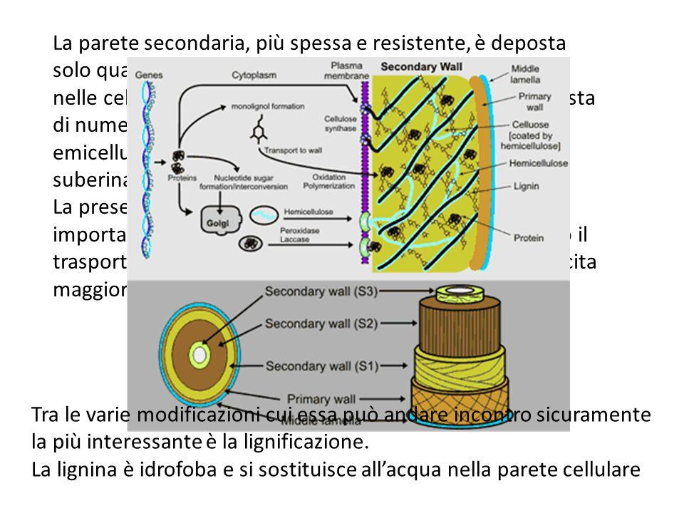 La parete secondaria, più spessa e resistente, è deposta solo quando la cellula ha smesso di crescere. La si trova nelle cellule dello xilema, trachei