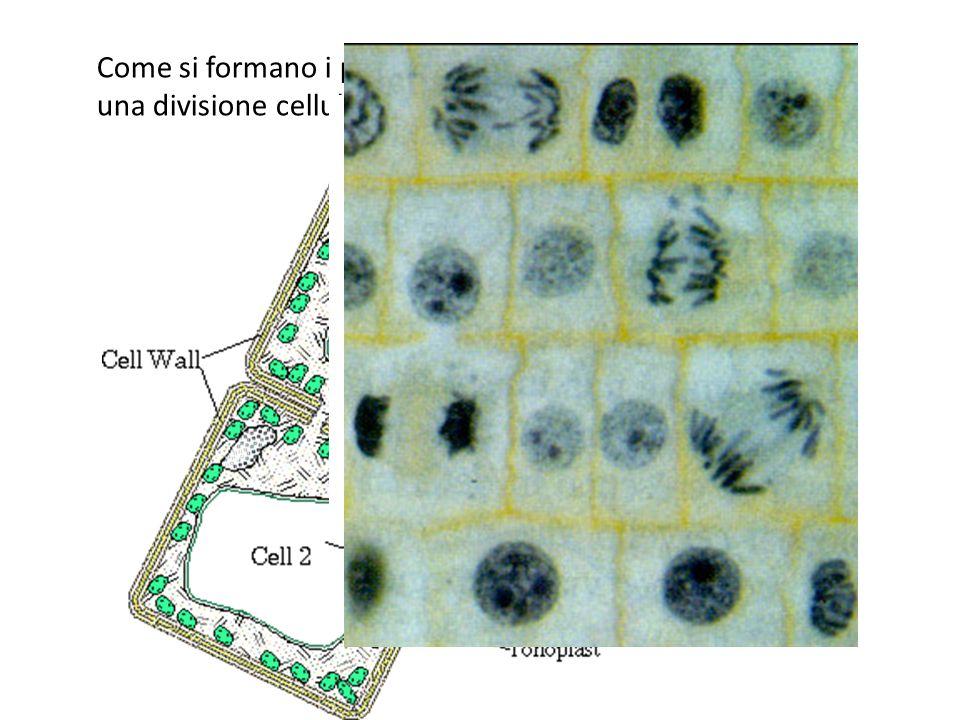 Come si formano i plasmodesmi? Di solito in seguito ad una divisione cellulare (mitosi).