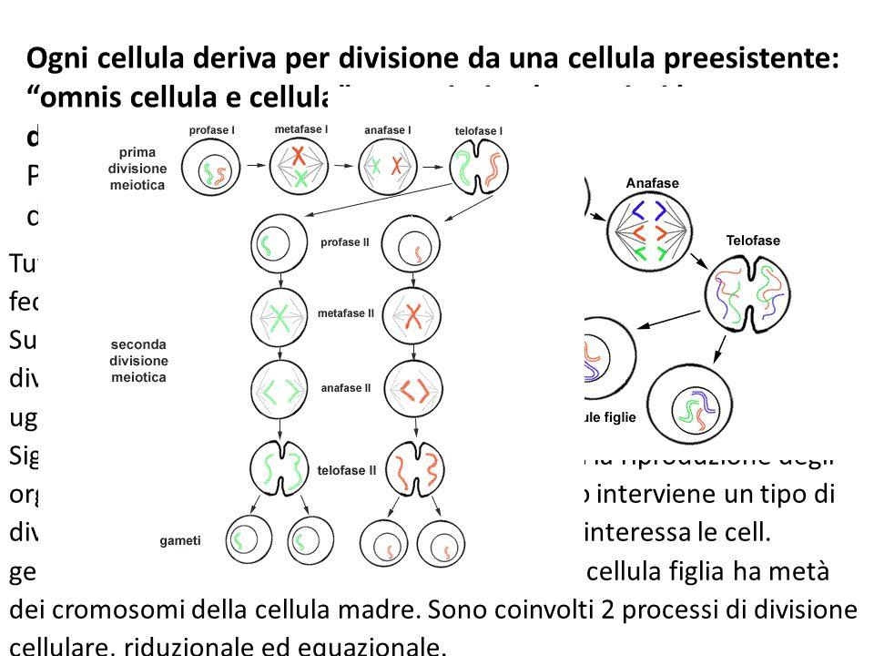 """Ogni cellula deriva per divisione da una cellula preesistente: """"omnis cellula e cellula"""" procarioti ed eucarioti hanno divisioni diverse. Negli eucari"""