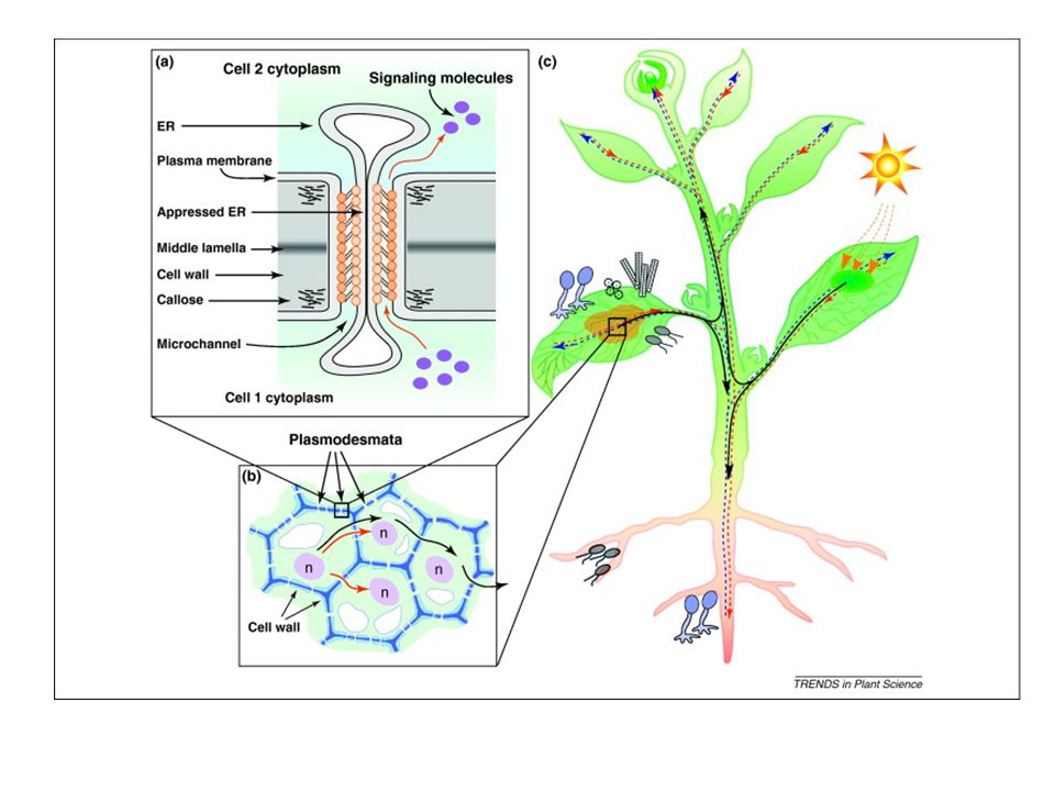 Plasmodesmata are now known to be structurally complex, with the capacity to dilate and facilitate the cell-to-cell transport of macromolecules, such
