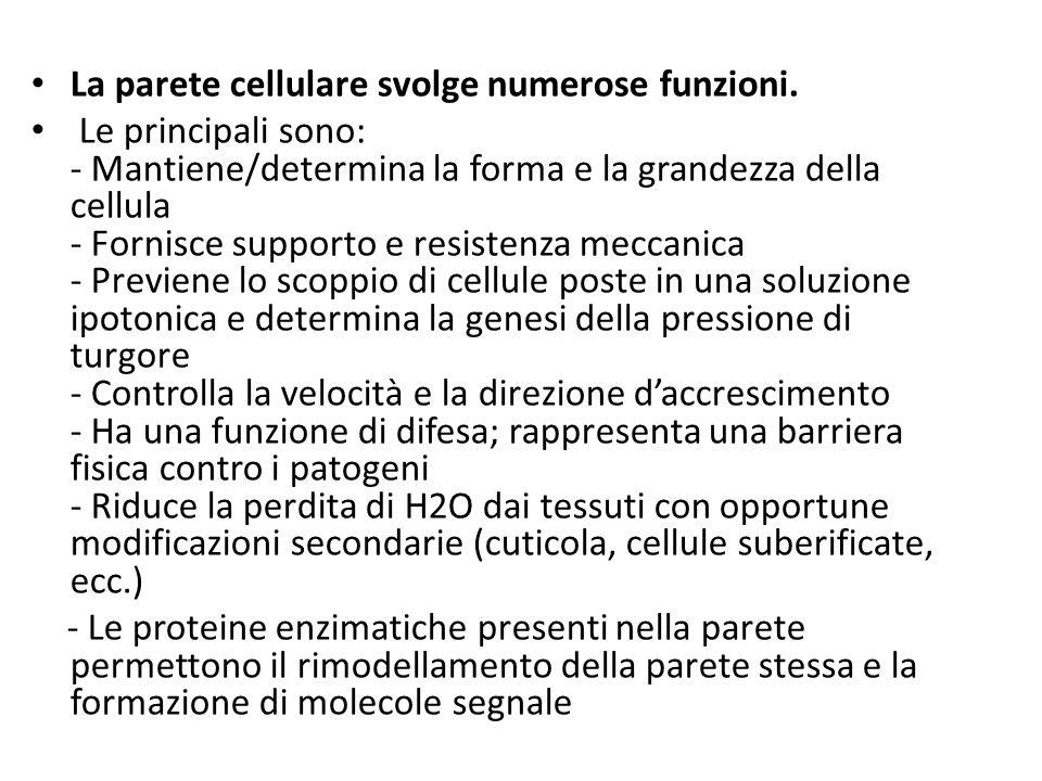 La parete cellulare svolge numerose funzioni. Le principali sono: - Mantiene/determina la forma e la grandezza della cellula - Fornisce supporto e res