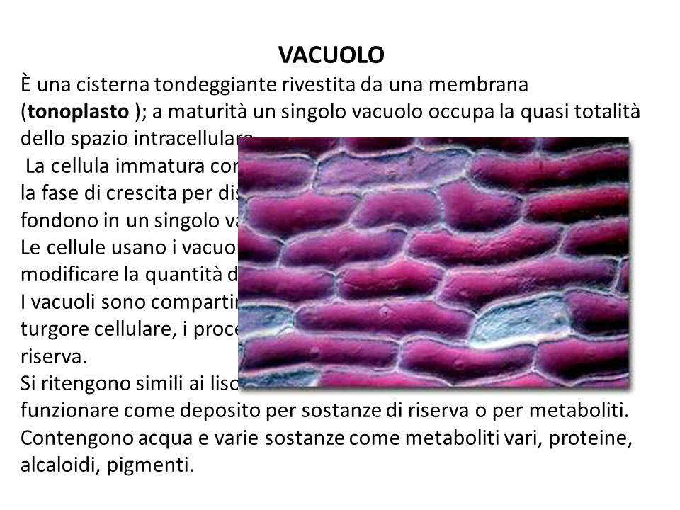 VACUOLO È una cisterna tondeggiante rivestita da una membrana (tonoplasto ); a maturità un singolo vacuolo occupa la quasi totalità dello spazio intra