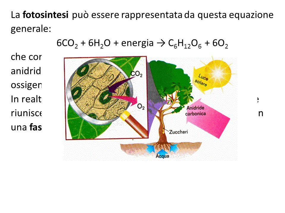 La fotosintesi può essere rappresentata da questa equazione generale: 6CO 2 + 6H 2 O + energia → C 6 H 12 O 6 + 6O 2 che corrisponde a: anidride carbo