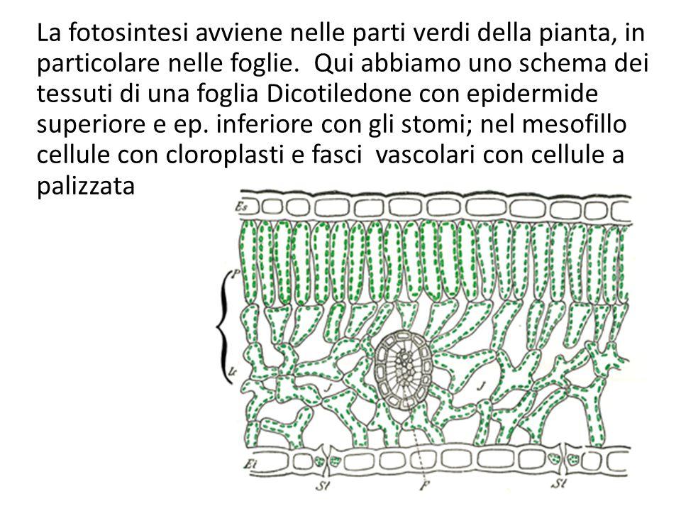 La fotosintesi avviene nelle parti verdi della pianta, in particolare nelle foglie. Qui abbiamo uno schema dei tessuti di una foglia Dicotiledone con