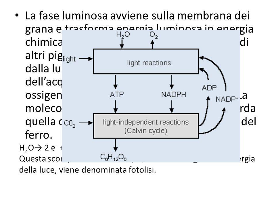 La fase luminosa avviene sulla membrana dei grana e trasforma energia luminosa in energia chimica. La clorofilla, con la collaborazione di altri pigme
