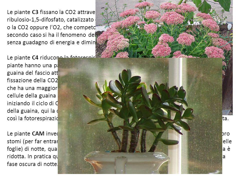 Le piante C3 fissano la CO2 attraverso il ciclo di Calvin, questo prevede il legame con il ribulosio-1,5-difosfato, catalizzato dall'enzima RuBisCO ch