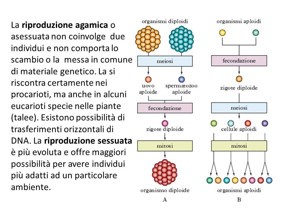 La riproduzione agamica o asessuata non coinvolge due individui e non comporta lo scambio o la messa in comune di materiale genetico. La si riscontra
