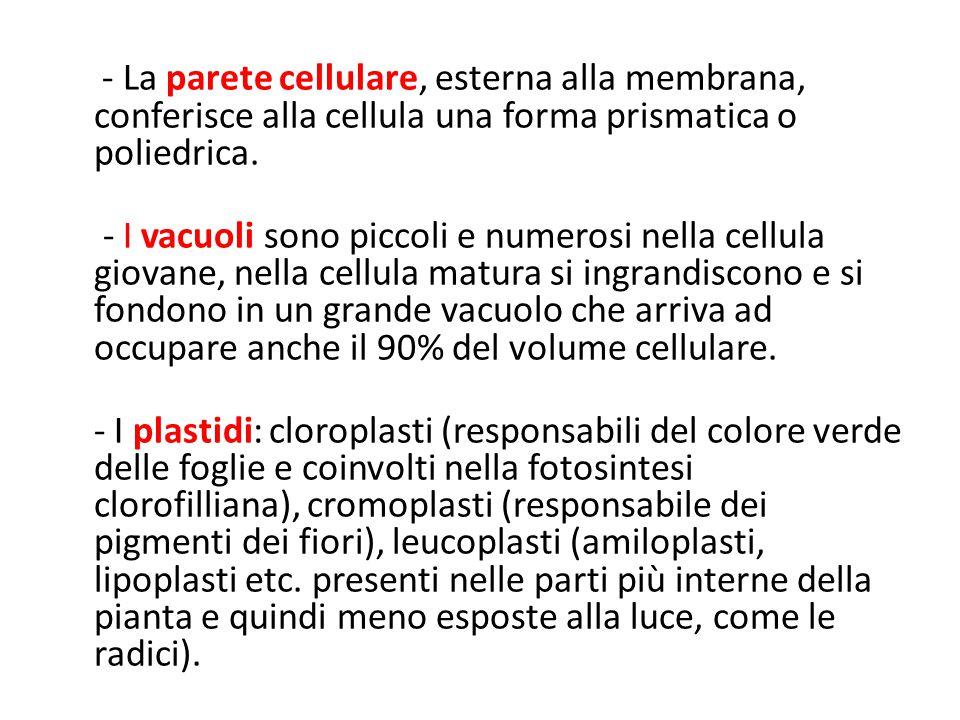 - La parete cellulare, esterna alla membrana, conferisce alla cellula una forma prismatica o poliedrica. - I vacuoli sono piccoli e numerosi nella cel