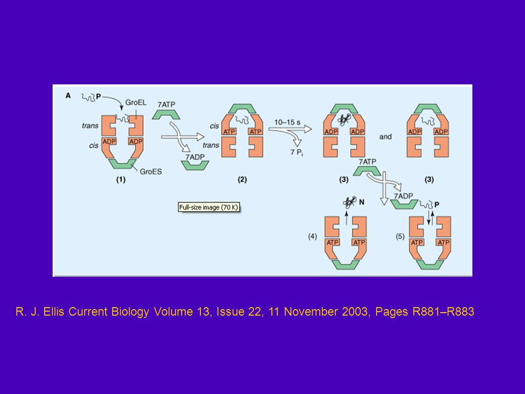 R. J. Ellis Current Biology Volume 13, Issue 22, 11 November 2003, Pages R881–R883