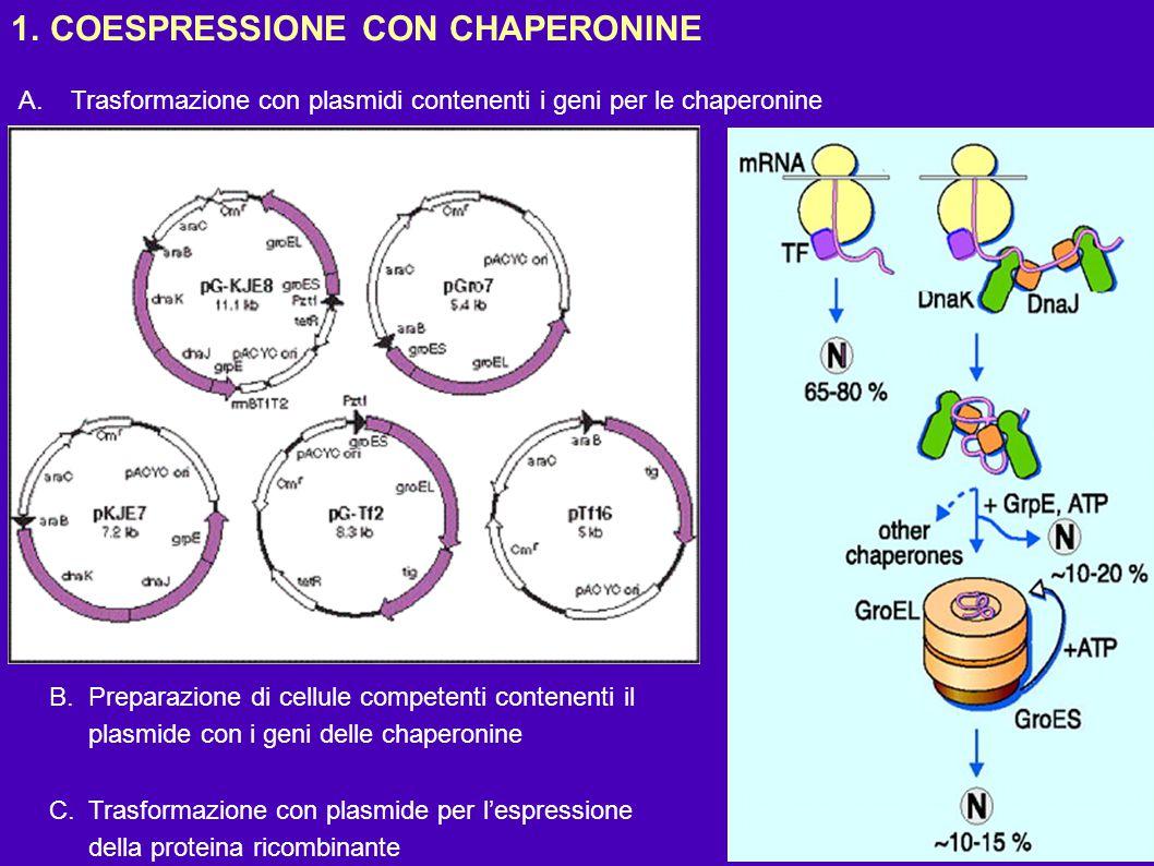 1.COESPRESSIONE CON CHAPERONINE A.Trasformazione con plasmidi contenenti i geni per le chaperonine B.Preparazione di cellule competenti contenenti il