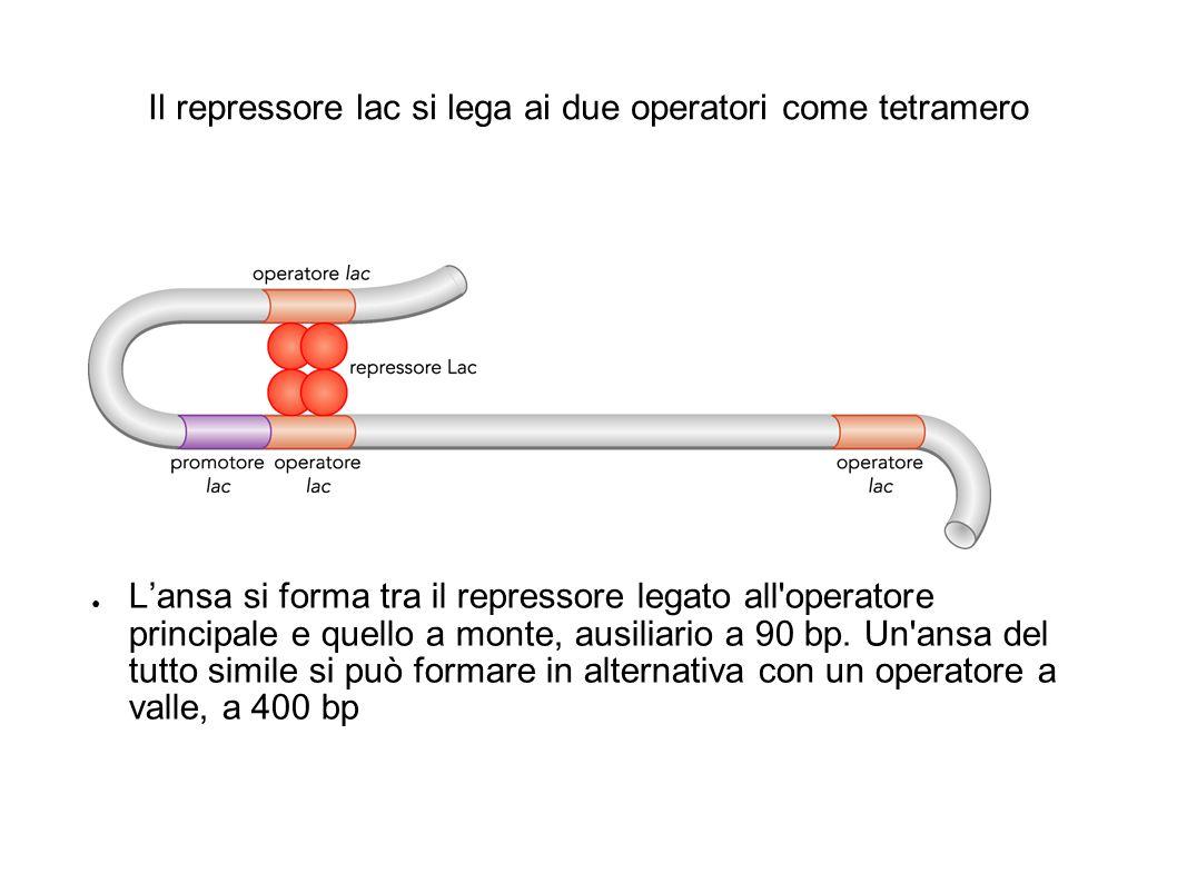 Il repressore lac si lega ai due operatori come tetramero ● L'ansa si forma tra il repressore legato all'operatore principale e quello a monte, ausili
