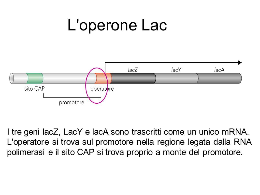 I tre geni lacZ, LacY e lacA sono trascritti come un unico mRNA. L'operatore si trova sul promotore nella regione legata dalla RNA polimerasi e il sit