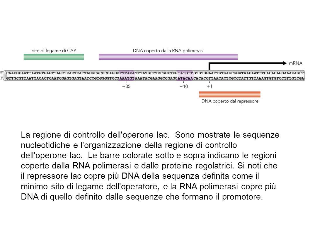 La regione di controllo dell'operone lac. Sono mostrate le sequenze nucleotidiche e l'organizzazione della regione di controllo dell'operone lac. Le b