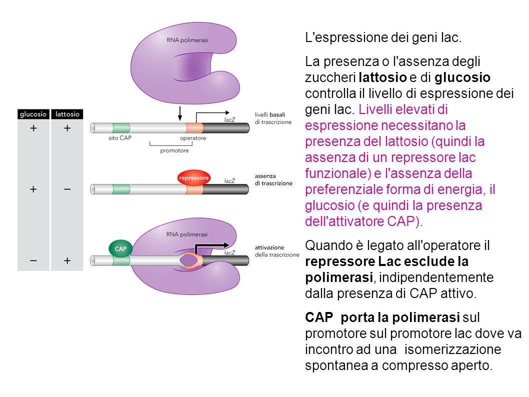 L'espressione dei geni lac. La presenza o l'assenza degli zuccheri lattosio e di glucosio controlla il livello di espressione dei geni lac. Livelli el