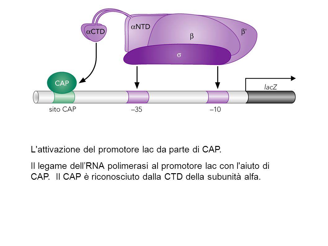 L'attivazione del promotore lac da parte di CAP. Il legame dell'RNA polimerasi al promotore lac con l'aiuto di CAP. Il CAP è riconosciuto dalla CTD de