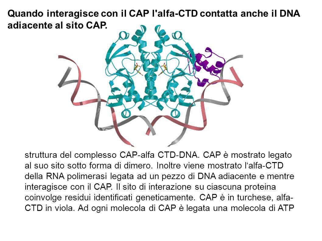 struttura del complesso CAP-alfa CTD-DNA. CAP è mostrato legato al suo sito sotto forma di dimero. Inoltre viene mostrato l'alfa-CTD della RNA polimer