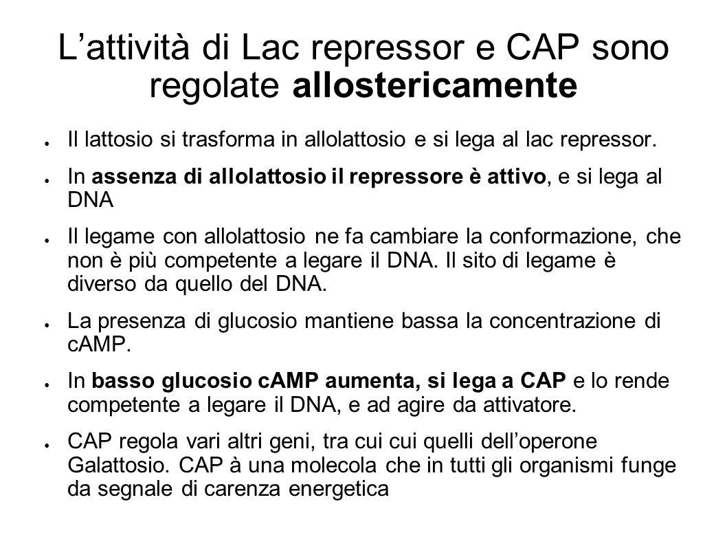 L'attività di Lac repressor e CAP sono regolate allostericamente ● Il lattosio si trasforma in allolattosio e si lega al lac repressor. ● In assenza d