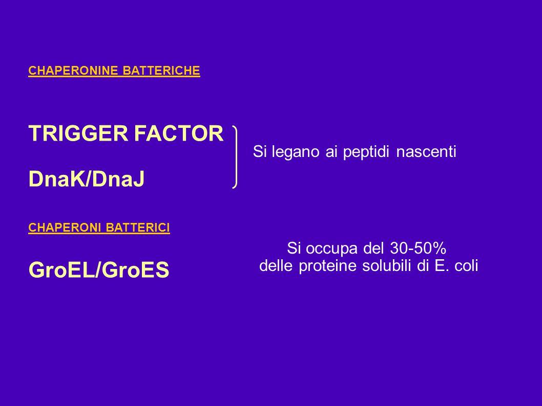 CHAPERONINE BATTERICHE TRIGGER FACTOR DnaK/DnaJ CHAPERONI BATTERICI GroEL/GroES Si legano ai peptidi nascenti Si occupa del 30-50% delle proteine solu