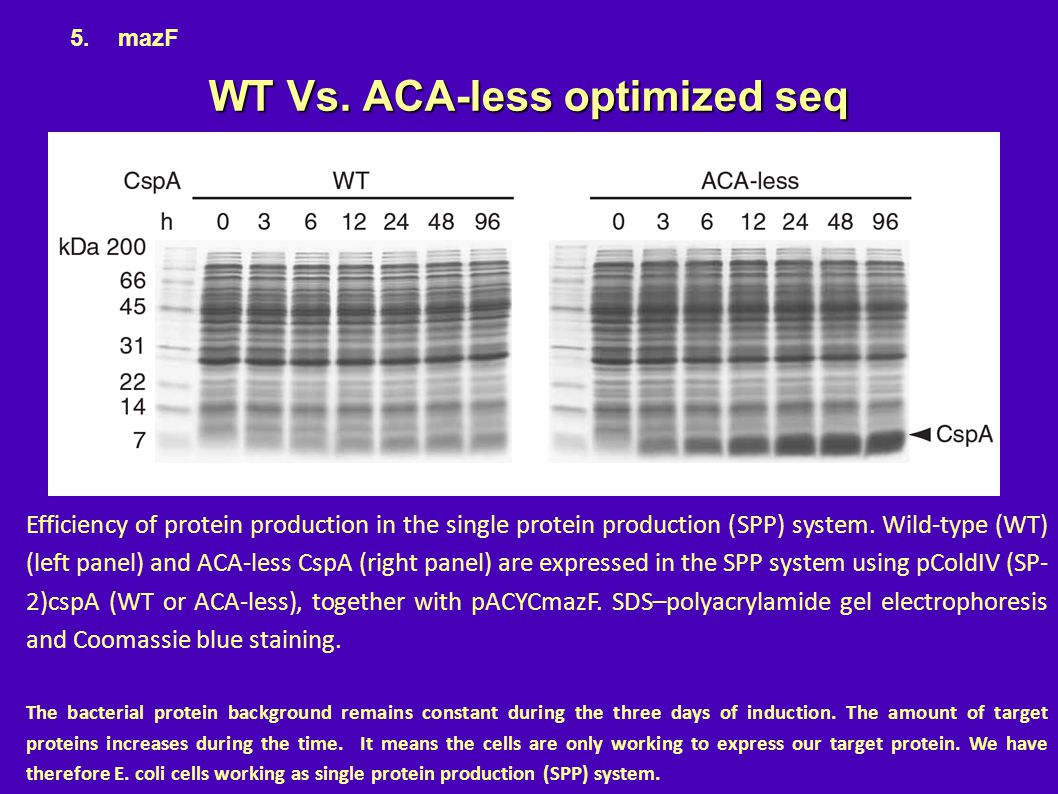 WT Vs. ACA-less optimized seq Efficiency of protein production in the single protein production (SPP) system. Wild-type (WT) (left panel) and ACA-less