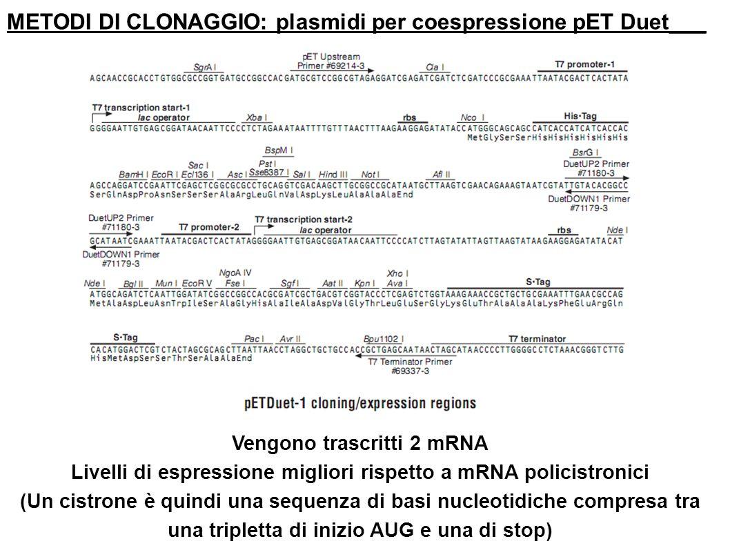 METODI DI CLONAGGIO: plasmidi per coespressione pET Duet___ Vengono trascritti 2 mRNA Livelli di espressione migliori rispetto a mRNA policistronici (
