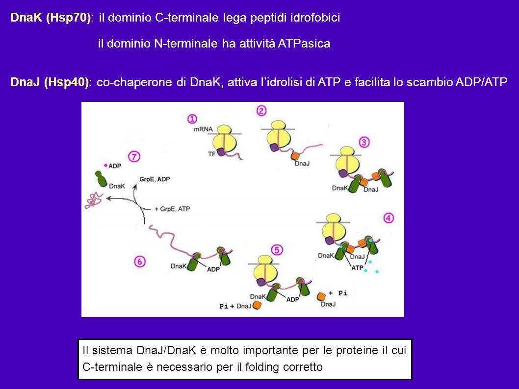 DnaK (Hsp70): il dominio C-terminale lega peptidi idrofobici il dominio N-terminale ha attività ATPasica DnaJ (Hsp40): co-chaperone di DnaK, attiva l'