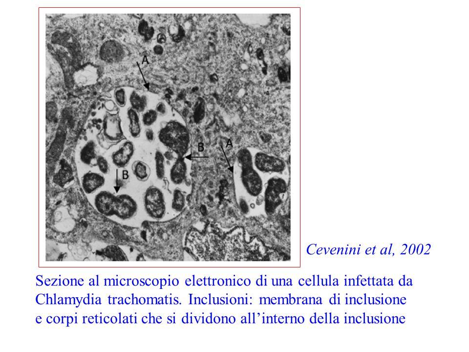 Sezione al microscopio elettronico di una cellula infettata da Chlamydia trachomatis. Inclusioni: membrana di inclusione e corpi reticolati che si div
