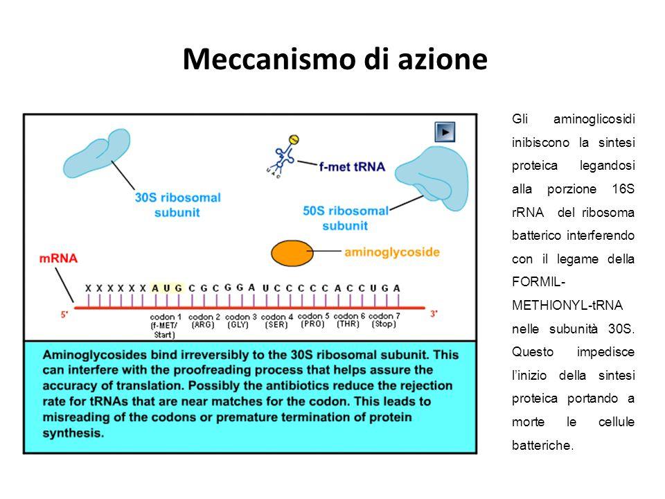 Gli aminoglicosidi inibiscono la sintesi proteica legandosi alla porzione 16S rRNA del ribosoma batterico interferendo con il legame della FORMIL- MET