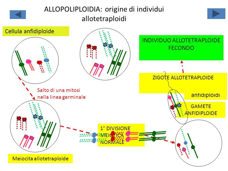 Salto di una mitosi nella linea germinale Meiocita allotetraploide Fecondazione fra gameti anfidiploidi ZIGOTE ALLOTETRAPLOIDE INDIVIDUO ALLOTETRAPLOI