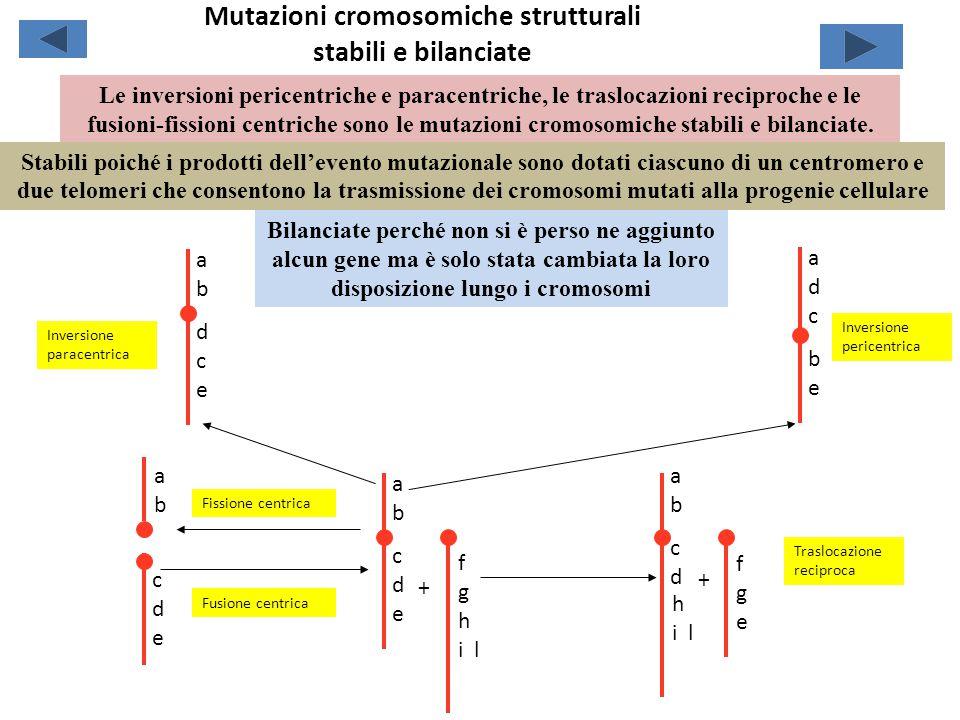 Mutazioni cromosomiche strutturali stabili e bilanciate abcdeabcde abdceabdce abab adcbeadcbe cdecde f g h i l fgefge abcdabcd h i l Inversione paracentrica Inversione pericentrica + Fissione centrica Fusione centrica + Traslocazione reciproca Le inversioni pericentriche e paracentriche, le traslocazioni reciproche e le fusioni-fissioni centriche sono le mutazioni cromosomiche stabili e bilanciate.