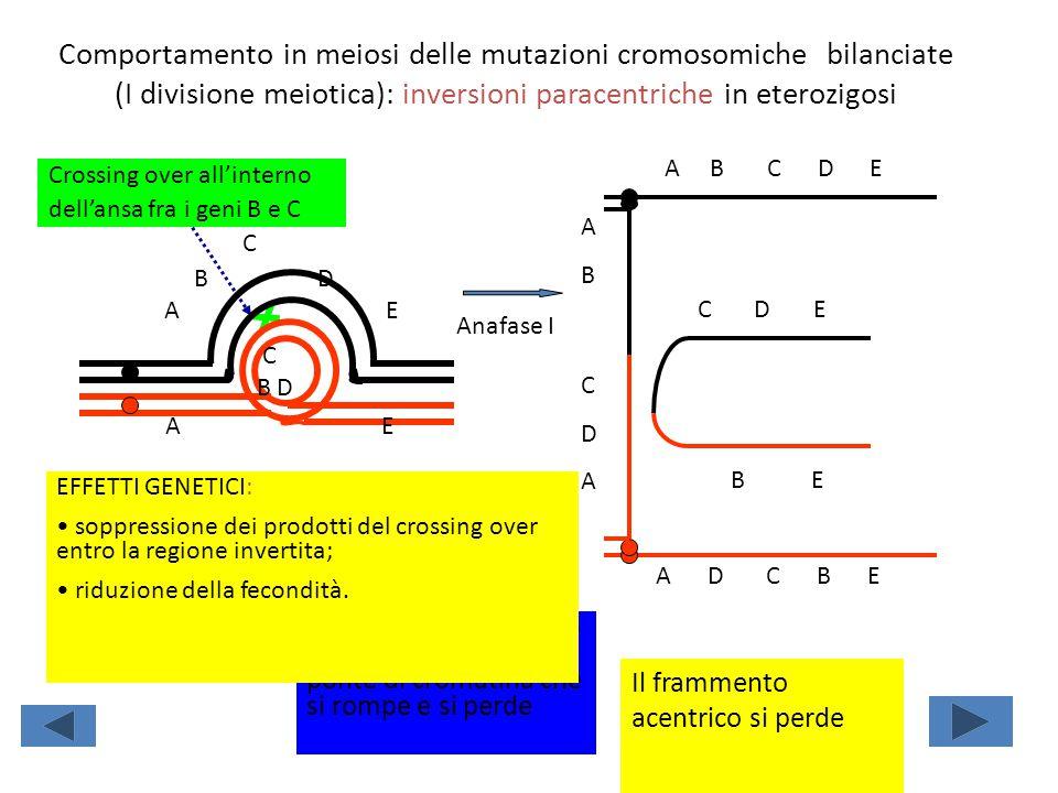 Comportamento in meiosi delle mutazioni cromosomiche bilanciate (I divisione meiotica): inversioni paracentriche in eterozigosi Crossing over all'inte