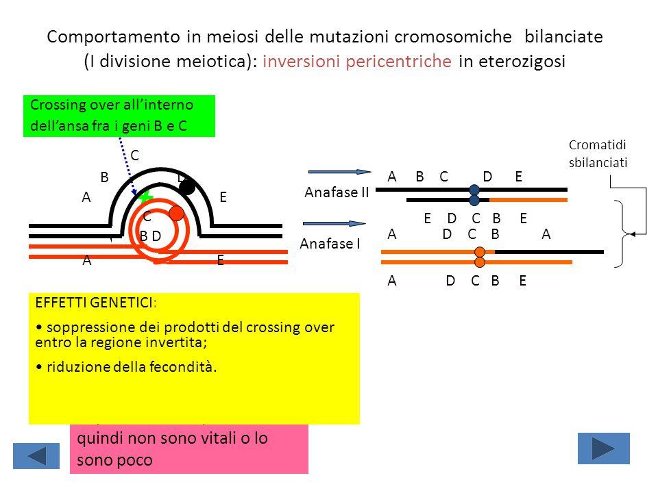Comportamento in meiosi delle mutazioni cromosomiche bilanciate (I divisione meiotica): inversioni pericentriche in eterozigosi Crossing over all'inte