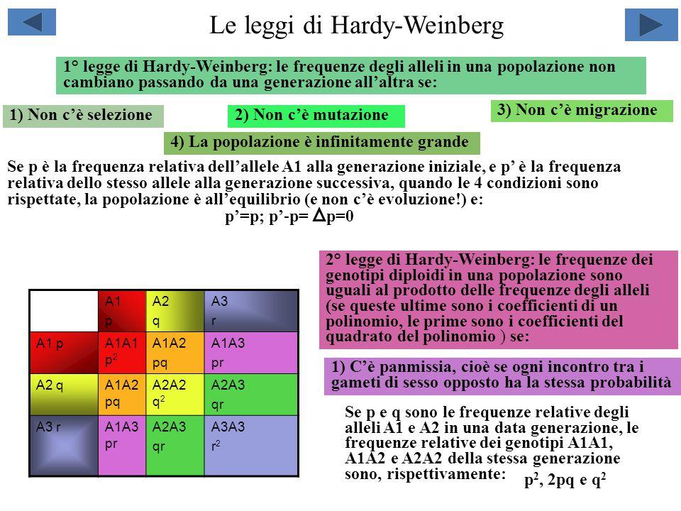 Le leggi di Hardy-Weinberg 1° legge di Hardy-Weinberg: le frequenze degli alleli in una popolazione non cambiano passando da una generazione all'altra