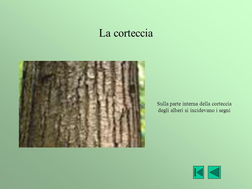 La corteccia Sulla parte interna della corteccia degli alberi si incidevano i segni