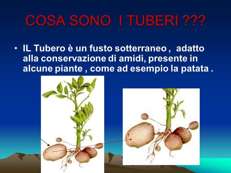 COSA SONO I TUBERI ??? IL Tubero è un fusto sotterraneo, adatto alla conservazione di amidi, presente in alcune piante, come ad esempio la patata.