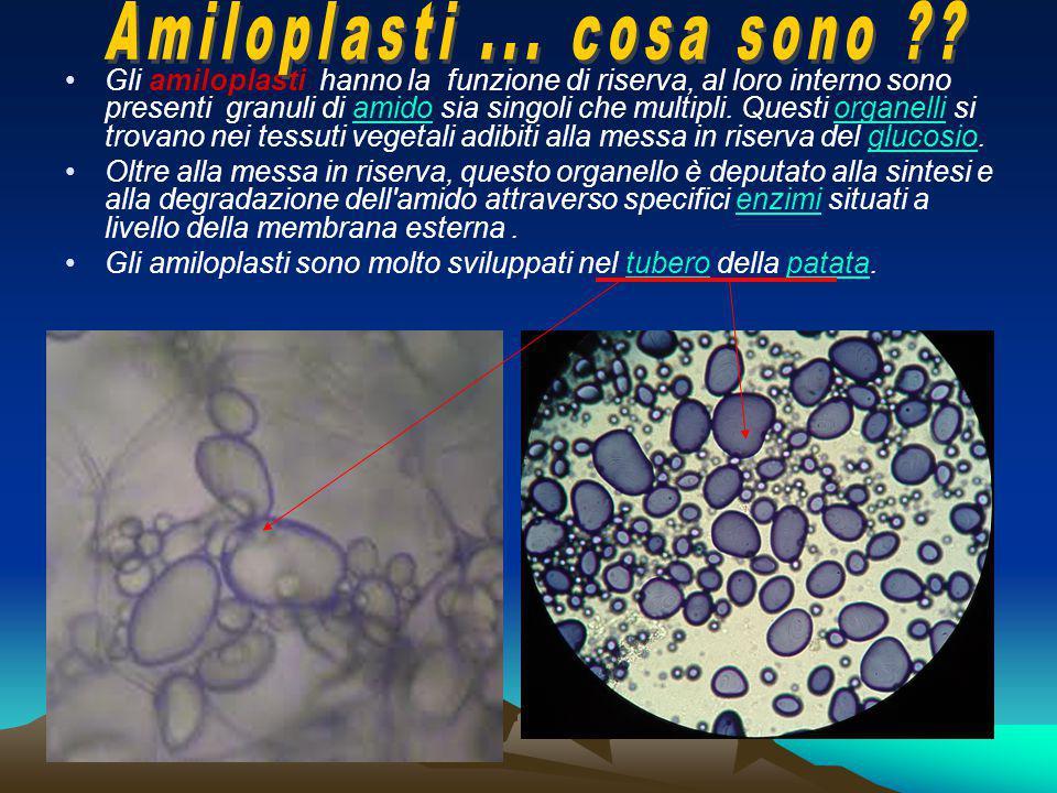 Gli amiloplasti hanno la funzione di riserva, al loro interno sono presenti granuli di amido sia singoli che multipli. Questi organelli si trovano nei