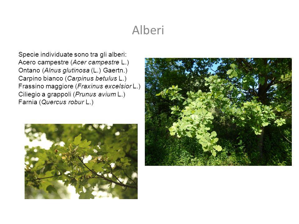 Alberi Specie individuate sono tra gli alberi: Acero campestre (Acer campestre L.) Ontano (Alnus glutinosa (L.) Gaertn.) Carpino bianco (Carpinus betu