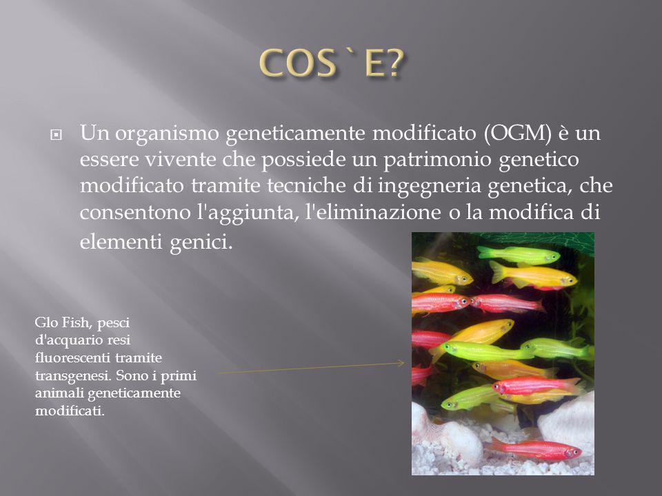  Un organismo geneticamente modificato (OGM) è un essere vivente che possiede un patrimonio genetico modificato tramite tecniche di ingegneria geneti