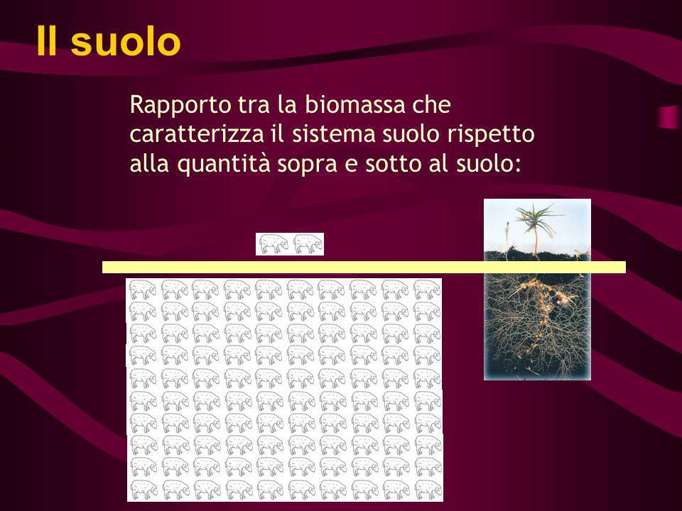 Rapporto tra la biomassa che caratterizza il sistema suolo rispetto alla quantità sopra e sotto al suolo: Il suolo