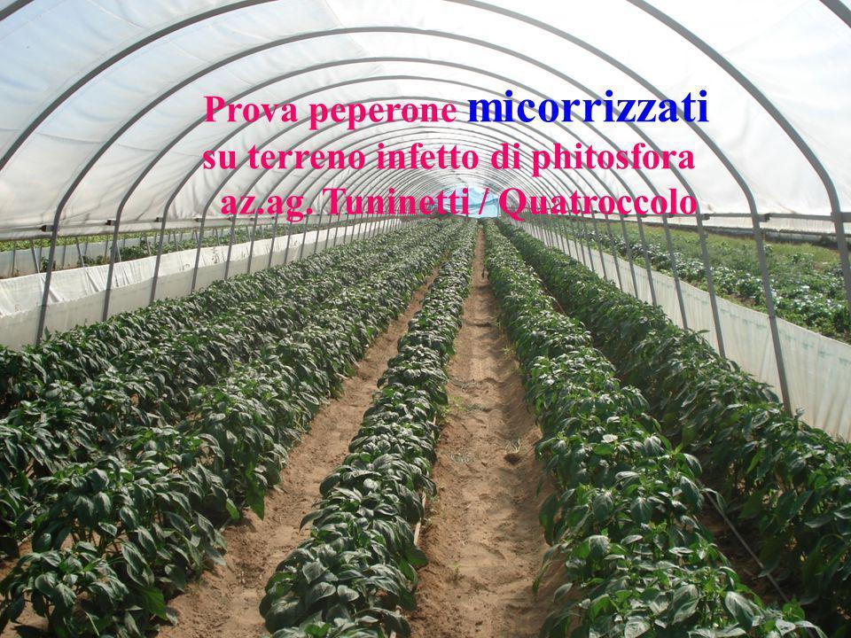 Prova peperone micorrizzati su terreno infetto di phitosfora az.ag. Tuninetti / Quatroccolo