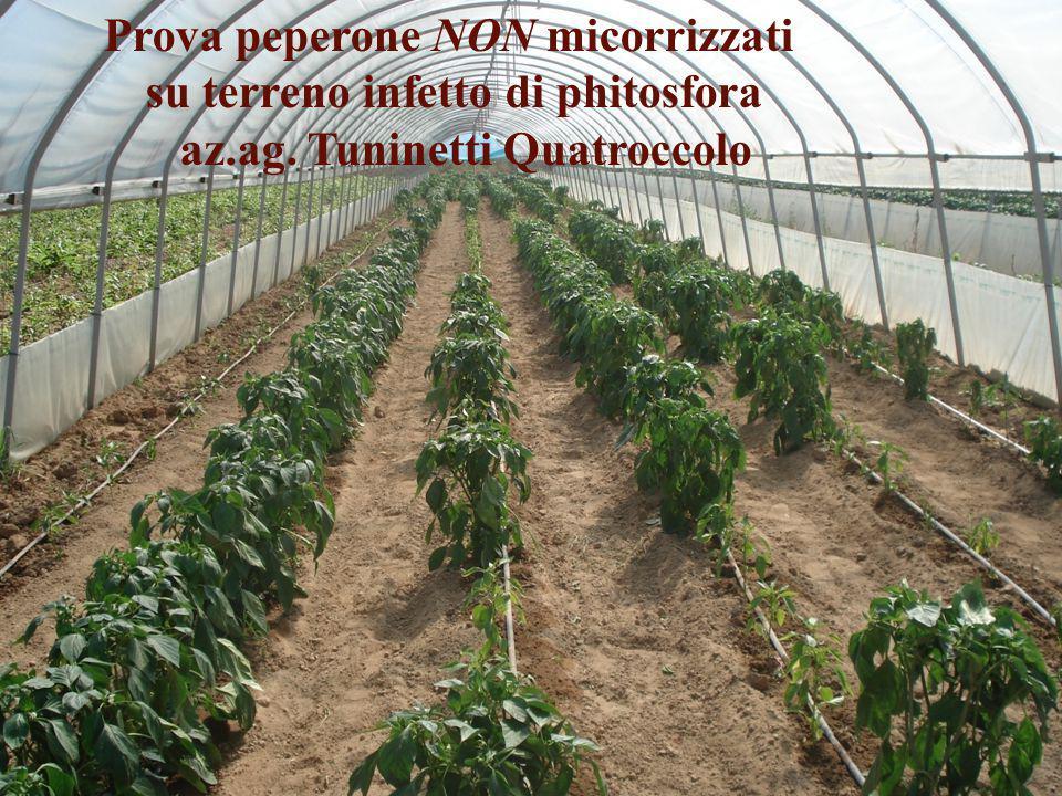 Prova peperone NON micorrizzati su terreno infetto di phitosfora az.ag. Tuninetti Quatroccolo