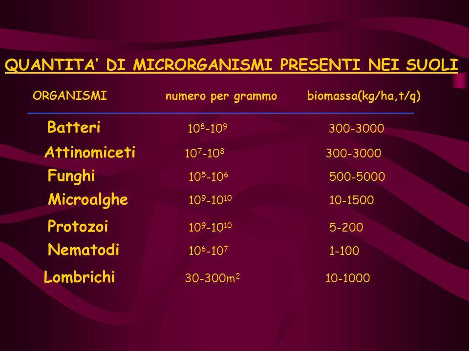 QUANTITA' DI MICRORGANISMI PRESENTI NEI SUOLI ORGANISMI numero per grammo biomassa(kg/ha,t/q) Batteri 10 8 -10 9 300-3000 Attinomiceti 10 7 -10 8 300-