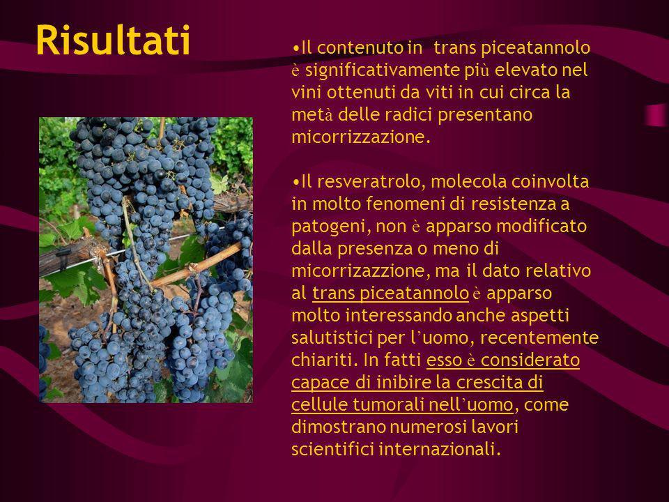 Il contenuto in trans piceatannolo è significativamente pi ù elevato nel vini ottenuti da viti in cui circa la met à delle radici presentano micorrizz