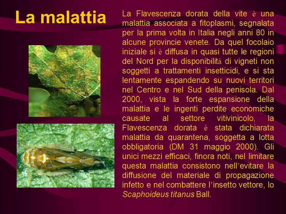 La Flavescenza dorata della vite è una malattia associata a fitoplasmi, segnalata per la prima volta in Italia negli anni 80 in alcune provincie venet