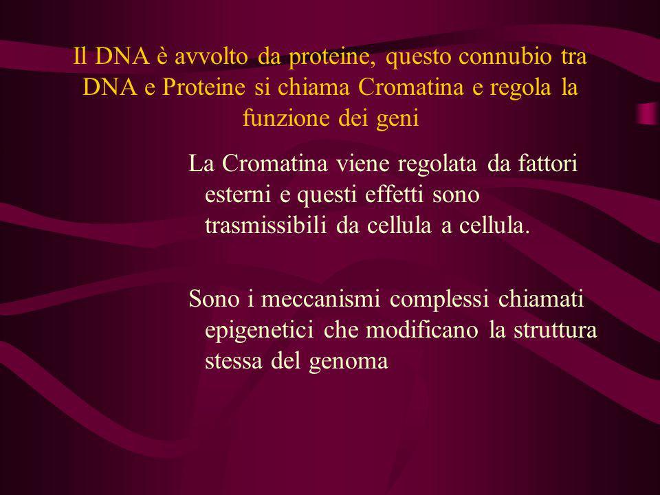 Il DNA è avvolto da proteine, questo connubio tra DNA e Proteine si chiama Cromatina e regola la funzione dei geni La Cromatina viene regolata da fatt