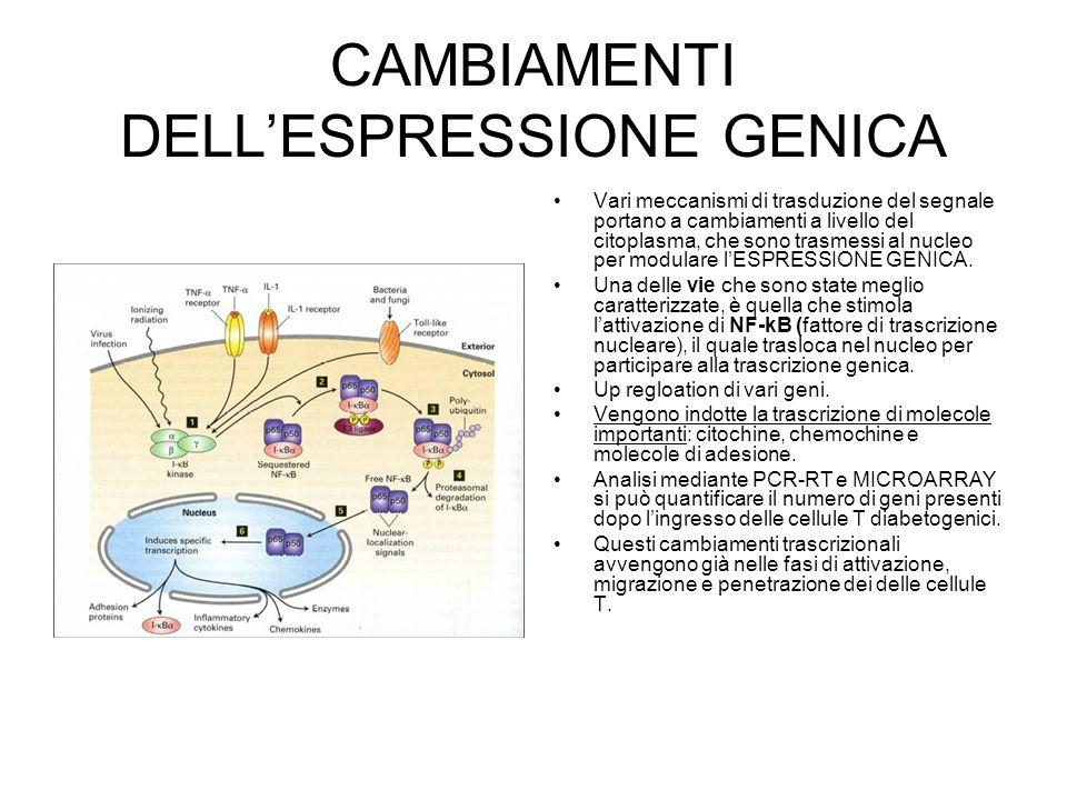 CAMBIAMENTI DELL'ESPRESSIONE GENICA Vari meccanismi di trasduzione del segnale portano a cambiamenti a livello del citoplasma, che sono trasmessi al n