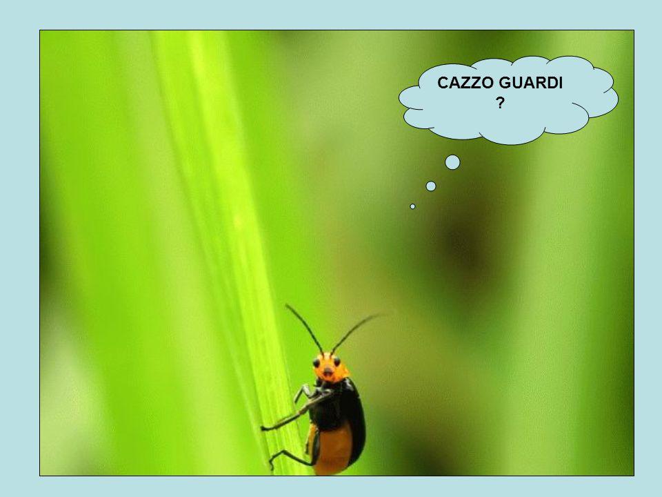 CAZZO GUARDI ?