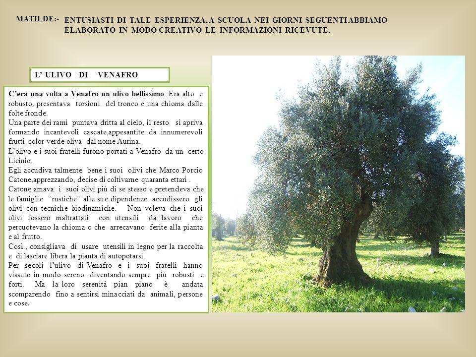 L' ULIVO DI VENAFRO C'era una volta a Venafro un ulivo bellissimo. Era alto e robusto, presentava torsioni del tronco e una chioma dalle folte fronde.