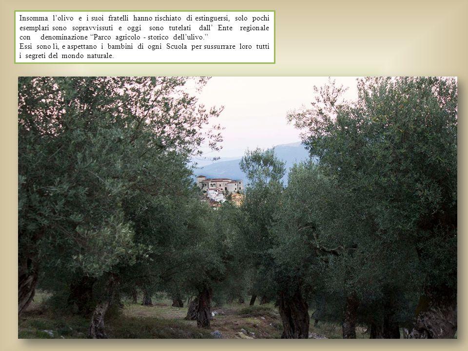 Insomma l'olivo e i suoi fratelli hanno rischiato di estinguersi, solo pochi esemplari sono sopravvissuti e oggi sono tutelati dall' Ente regionale co