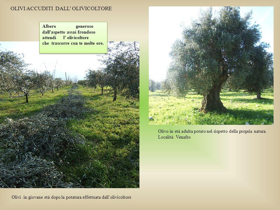Olivi in giovane età dopo la potatura effettuata dall'olivicoltore Olivo in età adulta potato nel rispetto della propria natura. Località: Venafro Alb